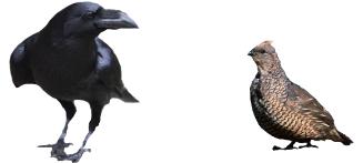 crow quail